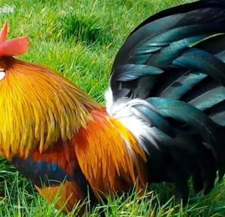 Giải mã giấc mơ – Nằm mơ thấy gà nên đánh con gì trong lô đề